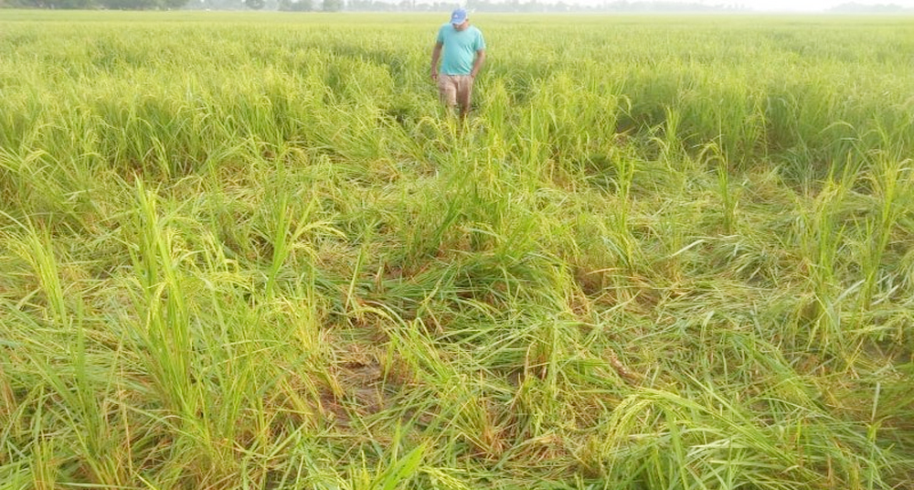 A herd of elephants  destroyed the paddy crop last night in kanchanpur